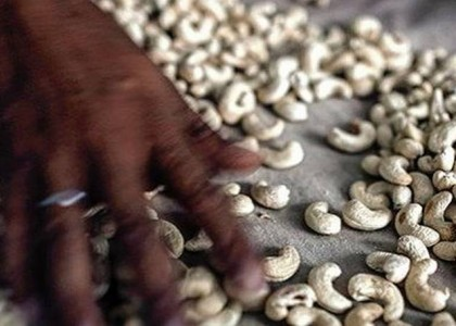 Decline in global cashew prices affects processors